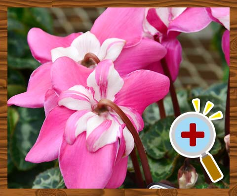 シクラメン品種「冬 桜」
